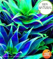 Aloe Vera Herbal Seeds Plants Succulent Pot Edible Color Rare 100pcs/bag