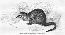 Schleichkatze MUSANG Paradoxorus fasciat Holzstich von 1877