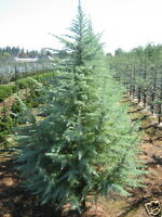 Deodar or Himalayan Cedar Seed Evergreen 20m Tree Frost Tolerant Cedrus deodar