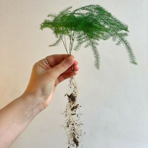 Asparagus Fern Cuttings - Rooted