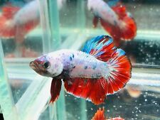 Live Betta Fish l HMPK Galaxy (3.5 months) From Thailand