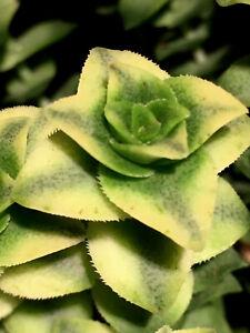 Crassula perforata f. variegata    we / own roots