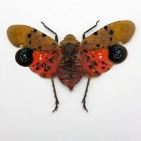 Penthicodes atomaria Lantern Fly Insect Specimen Indonesia
