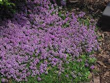 CREEPING THYME 300 seeds flowering garden