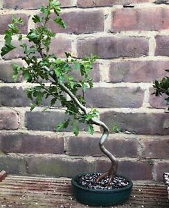 Hawthorn Bonsai Tree