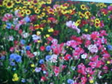 "ONE-POUND PERENNIAL 22-VARIEY WILD FLOWER SEEDS MIXTURE plus EXTRA 1/8 LB ""FREE"""