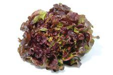 60 Graines de Laitue Feuille de Chêne Rouge Méthode BIO salade légume potager