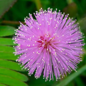Mimosa Pudica Seeds - Sensitive Plant - Touch Me Not Moving Plant | 100 Seeds