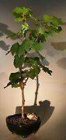 "11 y.o Wine Grape Bonsai Tree Chardonnay Green Skinned Grape Outdoor 18"" tall"