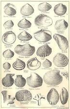 BRITISH FOSSILS: Pliocene, Norwich, Red, Coralline Crag. Molluscs. STANFORD;1880