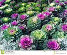 30+ ORNAMENTAL FLOWERING KALE FLOWER SEEDS MIX
