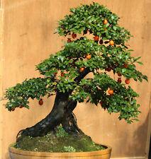 Diospyros  cathayensis 5 seeds Bonsai / Tree  Fruit is edible  CombSH M71