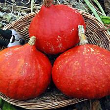 Pumpkin POTIMARRON-Pumpkin Seeds-FRENCH DELIGHT-20 SEEDS.