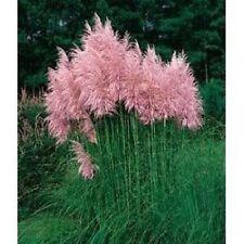 Pink Pampas Grass Plug