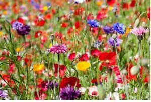 25g WILD FLOWER MEADOW SEEDS Wild Scented Bee Mixed Meadow NO GRASS Mix 149