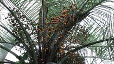 Pindo Palm Live Plant - Cold Hardy Jelly Palm - Butia Capitata - FREE SHIPPING