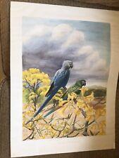 Jenevora Searight original watercolour  Last of the macaws? Bahia Brazil Spix's