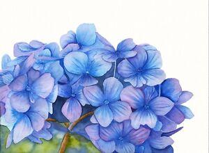 Hydrangea Botanical Watercolour Print from, an Original Watercolour