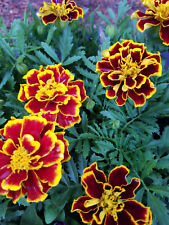 MARIGOLD - FIRE - BEAUTIFUL FIREY Burgundy Red Yellow 2 LIVE PLANTS! GroCo USA}