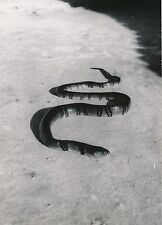 MOYEN CONGO c. 1940 -  Serpent à Sonnette - P 1304