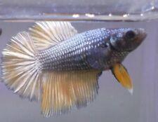 New listing live betta Tropical Betta Fish-Female Female betta G8 juvenile