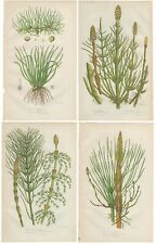 Lot of 4 - Anne Pratt antique 1st ed 1860 botanical print, Pl 310-313 Horsetail
