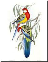 "Vintage John Gould Australian Bird Art CANVAS PRINT~ Eastern Rosella #2 24""X16"""