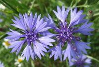 1000+ Samen Centaurea cyanus - Kornblume BLAU