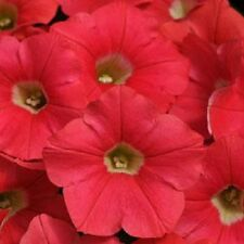 25 Pelleted Petunia Seeds Shock Wave Coral Crush trailing petunia