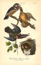 Rare 1888 Antique Audubon Bird Print ~ Wood Duck ~  Excellent Details!
