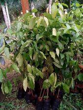 "18"" tall Grafting Plants, Gnetum gnemon, Melinjo, Tropical exotic Rare Plant"