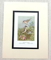 Antico Uccello Stampa Subalpine Warbler Orphean Barred Thorburn's Ca. 1929