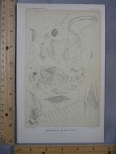 Rare Antique Original VTG Nebalia Pipes Anatomy Chart Illustration Art Print