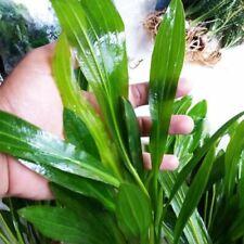 Ruffled Amazon Sword Echinodorus Martii Major Bunch B2G1 Live Aquarium Plants