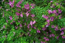 Pianta Cuphea Hyssopifolia Vaso 7cm