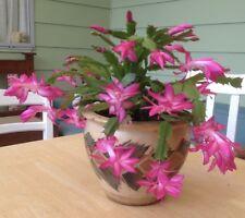 5 -6 X Cutting Zygo cactus / Schelambergera Buckleyi/ Christmas cactus