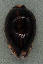 Coquillage de collection : Cypraea eglantina Niger (57 mm - Gem)