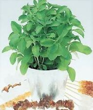 50 Organic Stevia Herb Seeds in Chaff $4.29 - Free Shipping.