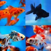 Assorted Fantail Goldfish Live Tropical Freshwater Aquarium Fish Tank Koi Pond
