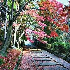 JAPANESE ELM SEEDS ZELKOVA SERRATA FLOWERING TREE BULK 10 SEED PACK