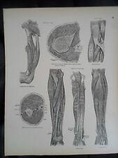 #31 Rare Vintage Old Print From Descriptive Atlas of Anatomy 1880  Medical Retro