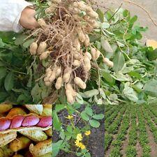 Hot Sale Seeds Of Jumbo Virginia Peanuts Untreated Seeds Organic 50 Seeds