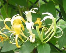 4 Live Plants Hall'S Honeysuckle Vines White Yellow Flowers Japanese Lonicera