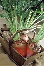 75 Giant Red BEET Mangelwurzel Mangel Mangold Wurzel Mammoth Long Beta Seeds