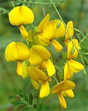 Sesbania Aculeata Bispinosa - Danchi  - Rare Tropical Tree Seeds (15)