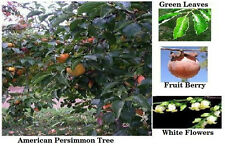 Persimmon Tree American  10 FRESH SEEDS + $1.99 S/H FLAT RATE UNLIMITED