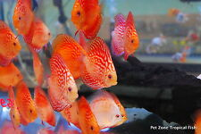 Pigeon Blood Discus, Medium - Beautiful Live Tropical Fish Discus Cichlid