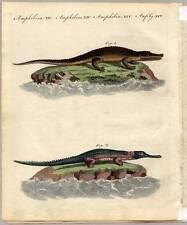 Krokodile-Crocodile-Krokodil Bertuch Kupferstich 1800