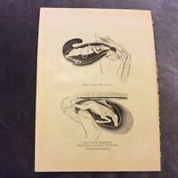 Vintage Book Print - Positions of Foal at Birth - 1924