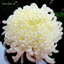 100 Seeds Flower Seeds Potted White Chrysanthemum Seeds Beautiful Potted Plant